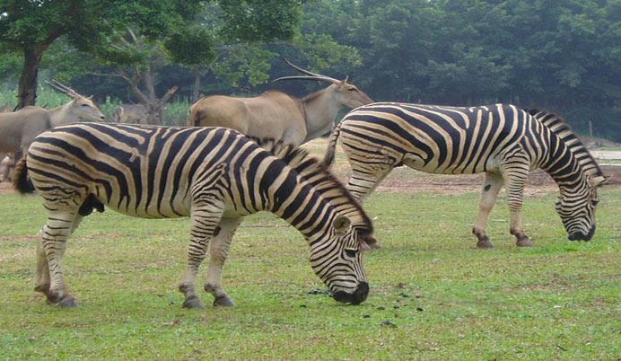 疯狂动物园中七只斑马图片